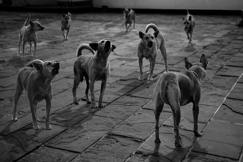 หมาหมู่ ภาพโดย นายเวชยันต์ ธราวิศิษฏ์